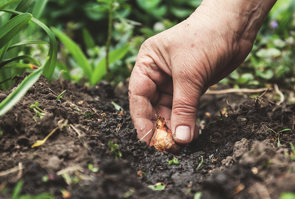 hand planting bulbs