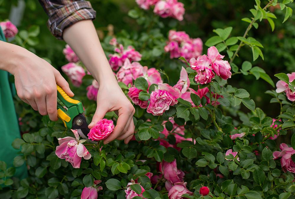 pruning pink flowers