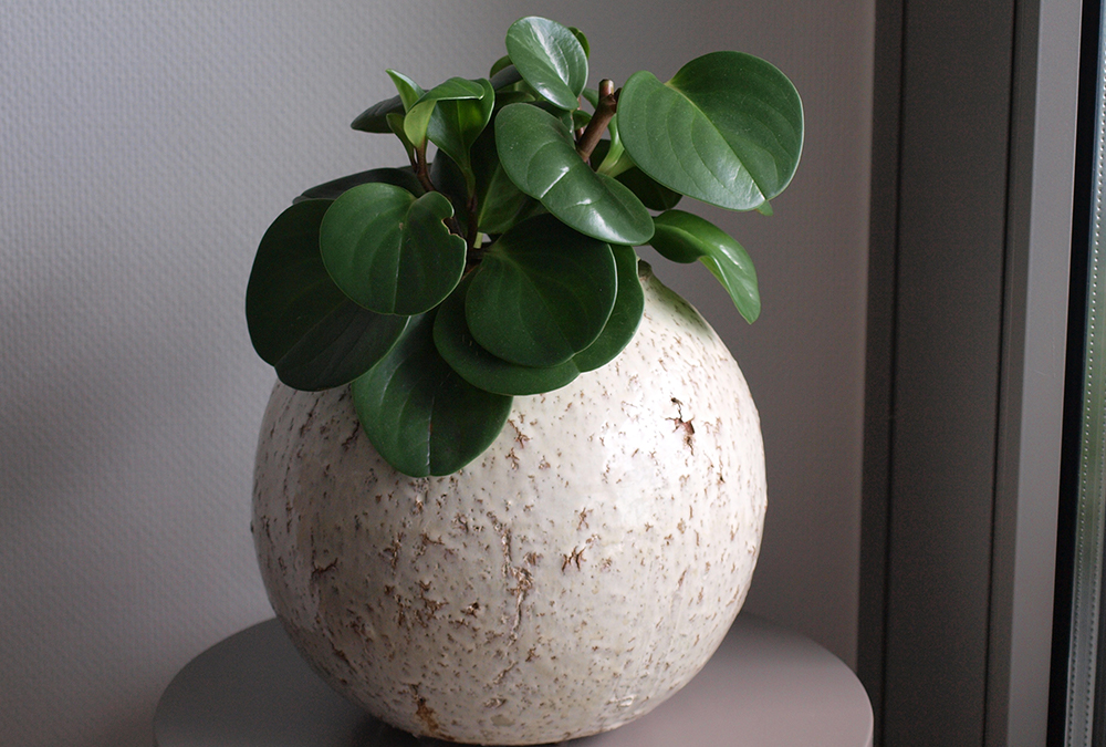 baby rubber plant in white pot