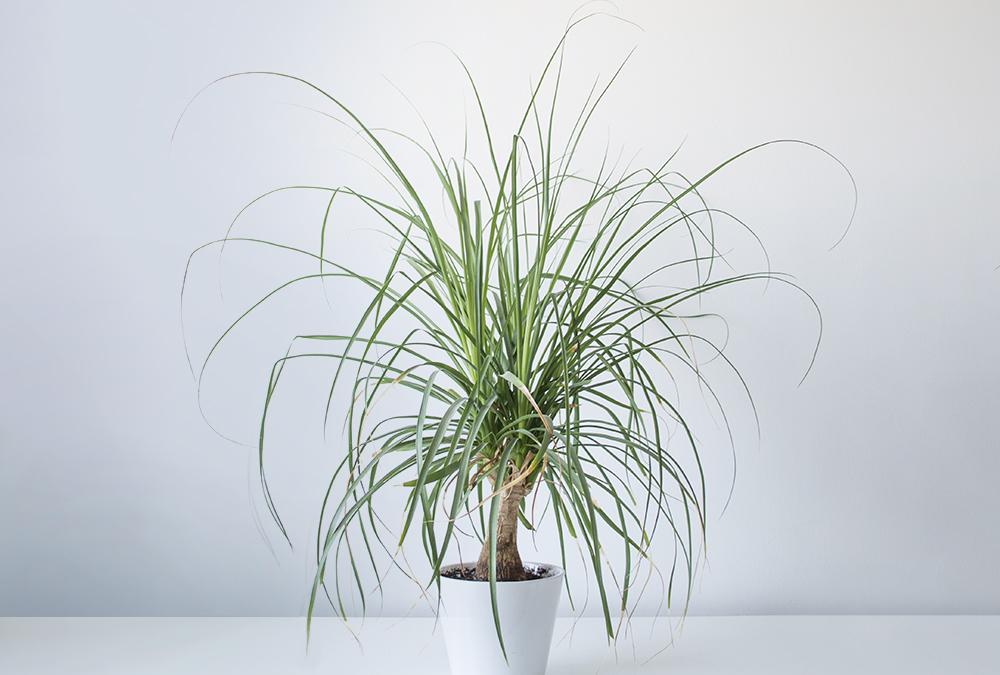 ponytail palm plant in white pot